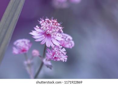 Macro of pink flower - pink great masterwort [Astrantia major]