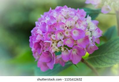 Macro of a pink hydrangea