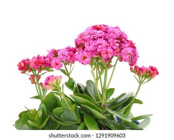 Macro Pink kalanchoe blossfeldiana (Florist kalanchoe) flowers isolated on white background.