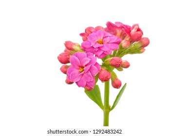 Macro Pink kalanchoe blossfeldiana (Florist kalanchoe) flowers isolated on white background with copy space.