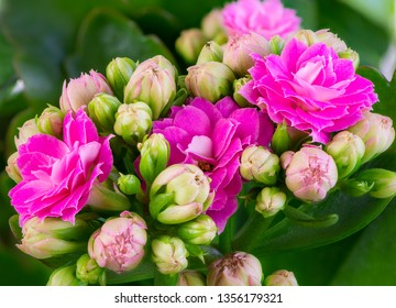 Macro of pink kalanchoe flower blossoms