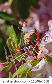 Macro of Pink Rhododendrons, Rhododendron ferrugineum,  in Oregon.