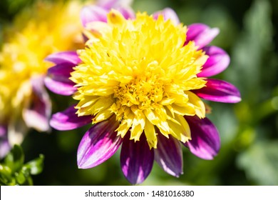 Macro of a pink yellow dahlia