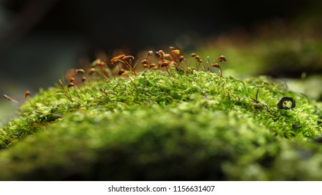 Macro of Pohlia moss (Pohlia nutans) with red dry  sporophyte growing on green hillock