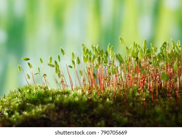 Macro of Pohlia nutans moss with green spore capsules on red stalks