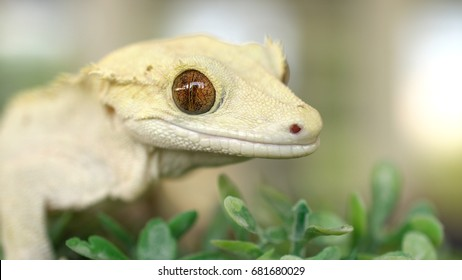 Macro Portrait of Adorable Crested Gecko