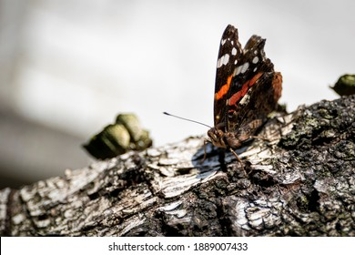 A macro portrait of an atalanta butterfly sitting on the bark of a cut down tree. The wings and the antenna's are visible of the beautiful insect.