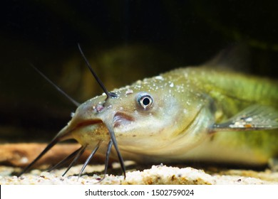 macro portrait of channel catfish, dangerous invasive freshwater predator fish, Ictalurus punctatus, demonstrating its head with long barbels, natural behaviour in biotope aquarium
