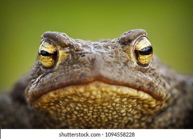 macro portrait of cute brown common toad ( Bufo bufo )
