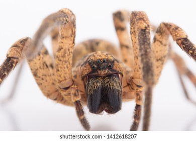 Macro Portrait of Cute Spider. Animals on white background. Wild Arthropods of Portugal. Harmless, endemic and endangered species from Europe