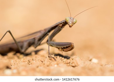 Macro Portrait of European Praying Mantis (Mantis religiosa) on the ground shallow blurry background. Wild Insects of Portugal. Harmless, Endemic and endangered species from Europe.