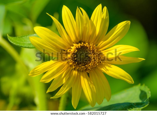 macro portrait of a single yellow marguerite/daisy blossom,bright sunlight on blurred natural green background and detailed texture