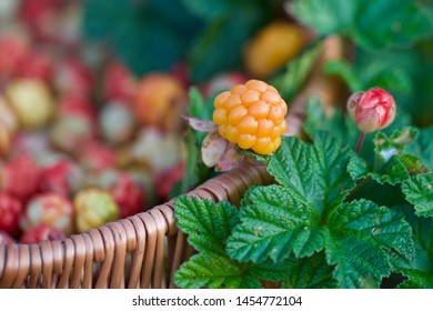 A macro of precious golden cloudberry (Rubus chamaemorus). Season: Summer. Location: Western Siberian taiga.