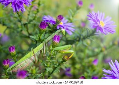 Macro of pregnant Female European Mantis or Praying Mantis, Mantis Religiosa. Green praying mantis. It sits on Violet asters flowers