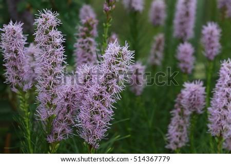 Macro Purple Flower Stick In Garden Lavender, Many Tall Purple Flower In  The Garden Background