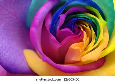 Macro of rainbow rose flower and multicolored petals