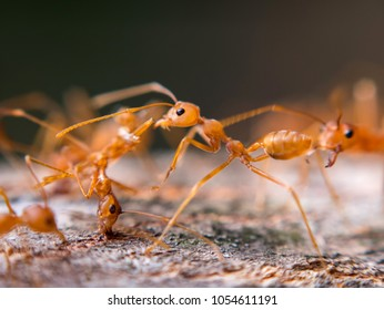 Macro Red Ant, Green Tree Ant on blur background selected focus.Scientific name,Oecophylla smaragdina Fabricius.