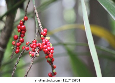 Macro Red berries with soft focus background, red fruited palm lily