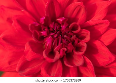 Macro of a red dahlia - cultivar Cycloop