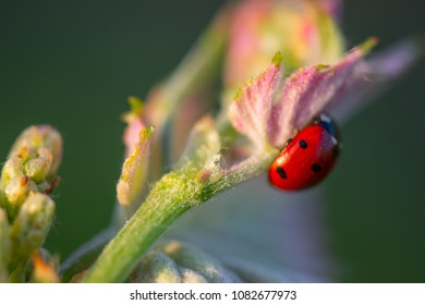 Macro of a Red Ladybug in vineyard on green wine leaf defocused background, France