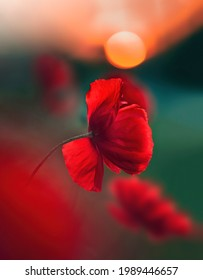 Macro of red poppy flower during the golden hour. Sunset with soft orange bokeh in the background. Sunlight shining through the petals. Shallow depth of field with green meadow background