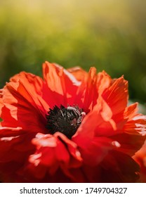 Macro of red poppy flower. Sun shining, creating backlighting. Green blurred background with bokeh. Shallow depth of field