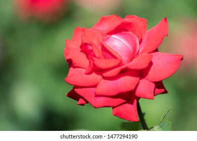 Macro of a red rose - cultivar Grande Amore
