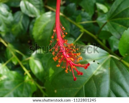 Macro Reproductive Organs Hibiscus Flower Stock Photo Edit Now
