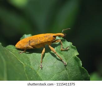 Macro of a Rhubarb Weevil