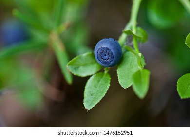 A macro of ripe bilberry (vaccinium myrtillus). Season: Summer 2019. Location: Western Siberian taiga.
