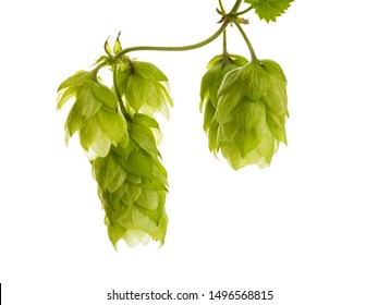 Macro of ripe common hops fruits on a vine isolated on white background
