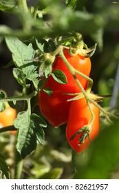 Macro of ripe Summer Roma Tomatoes hanging on the vine.