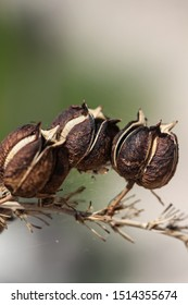 Macro of round dark brown and white split seed pods in group on red yucca stalk