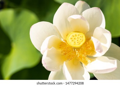 Macro of a sacred lotus - Nelumbo