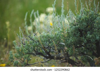 Macro of sagebrush against blurred background in Yellowstone National Park
