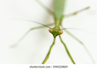 Macro shallow depth of field photo with focus on green praying mantis face, close up on mantis face