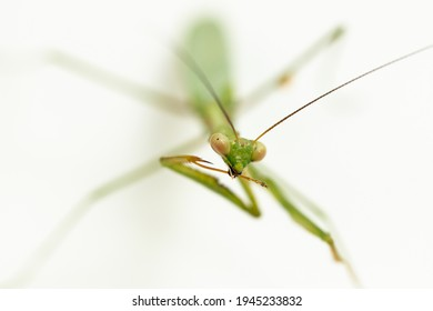 Macro shallow depth of field photo with focus on green praying mantis face, mantis is cleaning his leg with his mouth