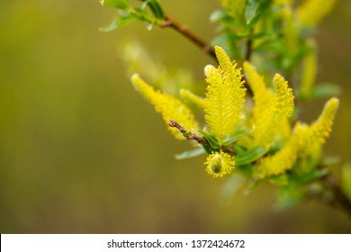 Macro, shallow focus of a wild yellow flower seen with its pollen. Soon after the image was taken a breeze took the pollen away, in this wild plant located at a nature reserve.