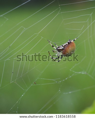 Macro of a Shamrock Orb Spider