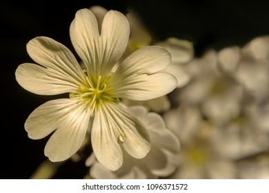 Macro shot with 10x macro filter of Cerastium tomentosum or also known as Sno-in-Summer.