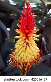 A macro shot of an african aloe flower