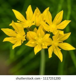 A macro shot of an allium moly bloom.