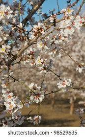 Macro shot of almond blossoms during bloom