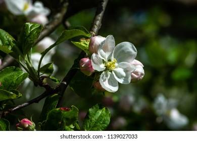 A macro shot of an apple flower