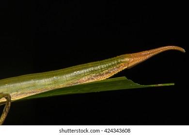 Macro Shot of a Bamboo Caterpillar , Bamboo Caterpillar , Satymid bamboo caterpillar (Satyrinae, Nymphalidae)