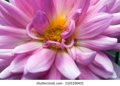 A macro shot of a beautiful dahlia flower with amazing details of the petals and stamens and a resident spider crab