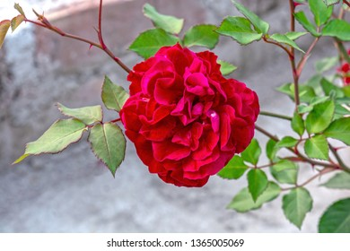 Macro shot of beautiful deep red Hybrid Perpetual Rose with green leaves on background.