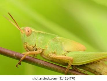 Macro shot of a beautiful Locust