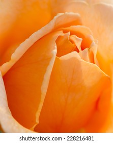 Macro shot of beautiful orange rose.