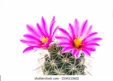 Macro shot of a beautiful pink cactus flower isolated  with white background.